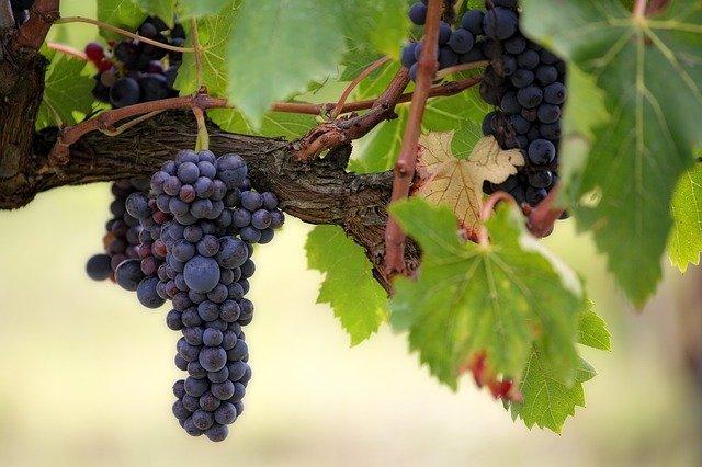 05 La mayoría de los vinos proceden de una sola uva